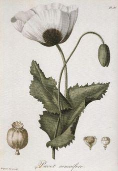 (TOXIQUE) Synonymes: pavot blanc, pavot somnifère, pavot à opium. L'OPIUM DURANT L'ANTIQUITÉ Dire depuis combien de temps le pavot est connu des hommes n'est pas une mince affaire...