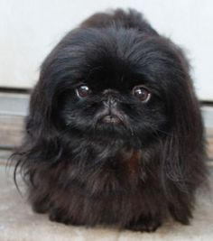 Dog Breeds - If your cat tends to create unbrushable tangles, especially around its hindquarters Yorkies, Pekingese Puppies, Fu Dog, Dog Cat, Shaved Animals, Cute Baby Animals, Funny Animals, Lion Dog, Shih Tzu