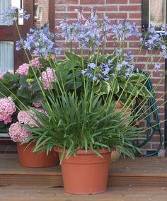 Koop nu vaste plant Agapanthus bij | Bakker.com