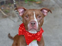 ♡ MY LIFE MATTERS ♡ Brooklyn Center LOLA – A1058600 FEMALE, BROWN / WHITE, AM PIT BULL TER MIX, 2 yrs STRAY – STRAY WAIT, NO HOLD Reason STRAY Intake condition INJ SEVERE Intake Date 11/21/2015, From NY 11373, DueOut Date 11/24/2015