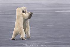 Lanting, Frans - Photographer   Polar bears sparring, Ursus maritimus, Hudson Bay, Canada