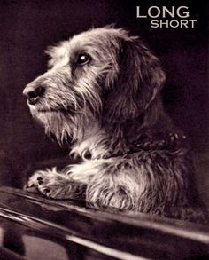 Would love to have another wirehair dachshund.