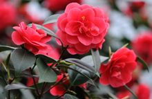 I have 12 Kramer Supreme camellias in my backyard.  They are a delight to the senses when the red flowers blossom in late winter.  This is a terrific bush to add to the Southern shade garden.