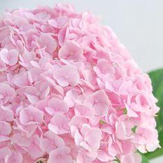 アジサイ(ハイドランジャー)「ホパリン ライトピンク」 - Flower File 大田市場の花き仲卸 株式会社フローラルジャパン