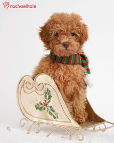 Lara (Miniature Poodle) - Nothing less than a golden sleigh for Christmas Day..if she got any cuter it would be a sin!!!