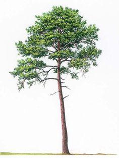 pinus nigra psd - Google-Suche