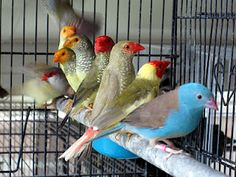 Happy Bird Place - Plano, TX breeder with ALL of the finches, Tanagers and whatnot you could dream of