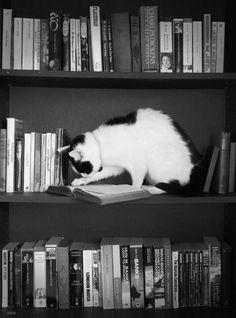Cat reading on bookshelf via daltonismo on tumblr