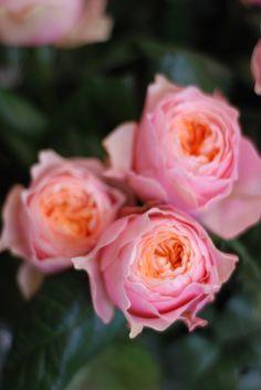 vuvuzela two-tone roses