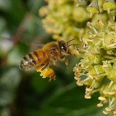 63. Honey Bee (Apis mellifera). This wonderful honey bee was buzzing around our flowering ivy a few weeks ago. Honey bees have been in decline over recent years, so it is good news that this year's honey crop is four times greater than the crop in 2012.