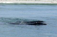 Southern Right Whales - Logging: This is when the whale is merely lying in the water, with its tail hanging down. Part of the head and back are exposed. Travel Magazines, Online Travel, Seaside Towns, Travel And Tourism, Whales, Dolphins, Southern, Coast, Creatures