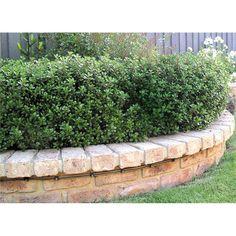 Find Plant-escallonia Hedge Front garden/back garden/lining fences? Garden Edging, Garden Borders, Garden Beds, Types Of Soil, Back Gardens, Topiary, Hedges, Pathways, Gardens