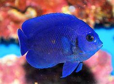 Fiji Blue Dwarf Angel