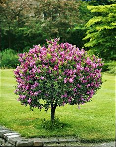 Dvergsyrin - Syringa meyeri 'Palibin' - Lilly is Love Fall Flowers, Pink Flowers, Lemon Lime Nandina, Sweet Potato Plant, Ornamental Kale, Landscaping Around Trees, Lilac Tree, Fall Planters, Landscaping