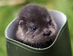 Puss in Boots Ain't Got Nothing on Otter in Boot  :D