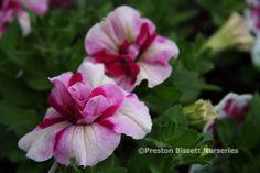 Tumbelina Rosy Ripple double tailing petunia yummy