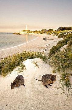 Quokka lighthouse, Rottnest Island, off Perth, Western Australia (Beauty Scenery Beach) Perth Western Australia, Australia Travel, Australia Photos, Queensland Australia, Melbourne Australia, Tasmania, Australia Occidental, Road Trip, Quokka