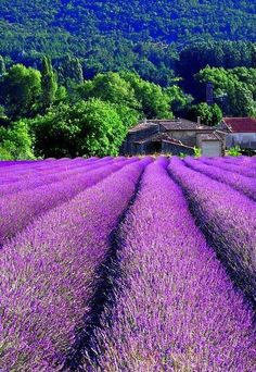 To visit the Lavender Field, Provence, France in July. Located in the south Alpes-de-Haute-Provence, the Valensole Plateau is lavender central, a soul-stirring sight. Places To Travel, Places To See, Travel Destinations, Travel Things, Travel Stuff, Places Around The World, Around The Worlds, Beautiful World, Beautiful Places