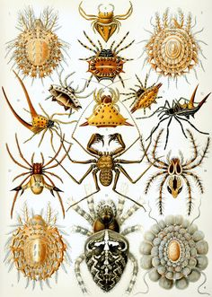 Arachnids, from Kunst-Formen der Natur, by Ernst Haeckel, Germany naturalist and artist. Ernst Haeckel, Illustration Botanique, Botanical Illustration, Natural Form Art, Spider Art, Science Illustration, Illustration Plate, Beautiful Bugs, Beautiful Drawings