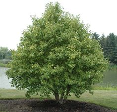"Thin leaf Alder | Ainus incana | (Seed, cover for birds; spring ""cones;"" winter bark) Part Sun 30'"