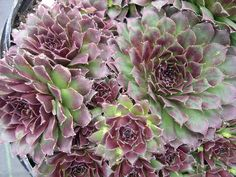 Sempervivum 'Pacific Mayfair Imp'