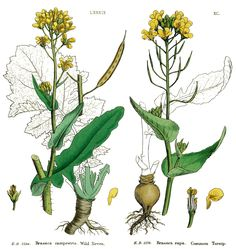 Brassica rapa, Brukev řepák
