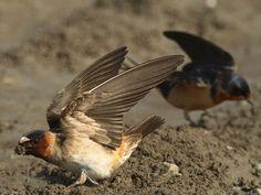 Barn Swallow Hirundo rustica ORDER: PASSERIFORMES FAMILY: HIRUNDINIDAE© Cameron Rognan, Arcata Bottoms, Arcata, California, May 2007, http://www.flickr.com/photos/cameronrognan/3753049232/
