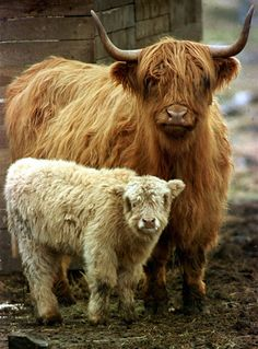 mama and baby Highland cows