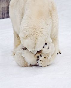 Did you know that polar bears have black skin? This helps them stay warm. Their thick white fur normally hides it.