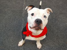 TO BE DESTROYED - 07/13/14 !! TO BE DESTROYED 7/8/14 Manhattan Center ***NEW PHOTO***  My name is HIBBERT. My Animal ID # is A1004128. I am a male black and white pit bull mix. The shelter thinks I am about 4 YEARS old.  I came in the shelter as a STRAY on 06/22/2014 from NY 11210, owner surrender reason stated was BITEANIMAL.  https://www.facebook.com/photo.php?fbid=833798199966394set=a.611290788883804.1073741851.152876678058553type=3theater