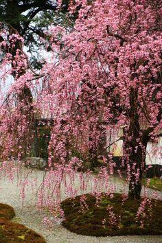 高画質 実相院 桜 写真 京都 満開 洛北 Jissoin, Kyoyo Japan