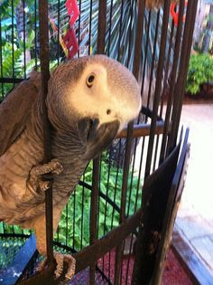 Babe the African Grey from Jerry's Supermarket, Sanibel by mikepbacon, via Flickr