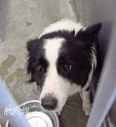A4861560 My name is Panda. I am a 1 y rold female black/white Border Collie mix. My owner left me here on July 30. available 8/3/15. located in bldg 4 - no public view Baldwin Park shelter https://www.facebook.com/photo.php?fbid=1007306159281221&set=a.705235432821630&type=3&theater