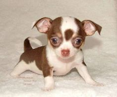 Chihuahua w/ Bunny Ears Teacup Chihuahua Puppies, Cute Chihuahua, Dogs And Puppies, Doggies, Corgi Puppies, Really Cute Puppies, Cute Dogs, Cute Baby Animals, Funny Animals