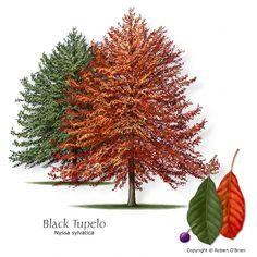 Blackgum (Black Tupelo) Texas native, reliable fall color, attractive seeds or fruit, seeds or fruit eaten by wildlife Features:Brilliant fall color; horizontal branching habit. Comments: Prefers acid soils. Bright, shiny foliage turns red and purple early in the fall.