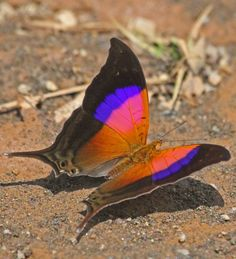 Glossy Daggerwing Butterfly.The Sunset Daggerwing, Glossy Daggerwing, (Marpesia furcula) is a species of butterfly of the Nymphalidae family. It is found in Central America and South America .