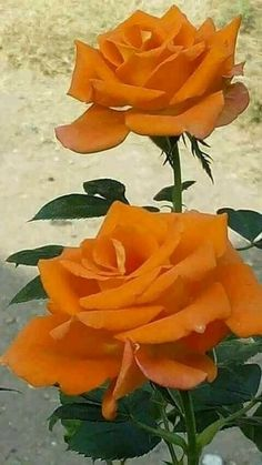 Rose Gardening Orange roses - Some people who have not tried growing roses think that they are difficult and require more specialized care than other plants. In fact this is a false perception and roses… Beautiful Rose Flowers, Pretty Roses, Love Rose, Exotic Flowers, Amazing Flowers, Beautiful Flowers, Rose Orange, Orange Flowers, Yellow Roses