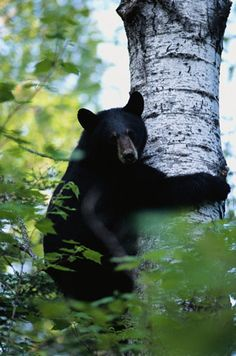 Black Bear, yeah, we all know where those are from.. here