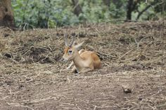 Alone Antilop