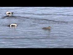 Itämeren lintuja Tieto, Penguins, Bird, Animals, Animales, Animaux, Birds, Penguin, Animal