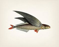 Unique 1801 flying fish dessin - tirage d'art 8 x 10 d'une illustration antique vintage histoire naturelle