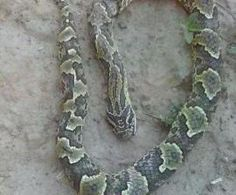 Contexto.com.ar - Terror en Santiago por una serpiente con un extraño número en la cabeza Reptiles, Snakes, Miss You, Santiago, Animales, A Snake, Snake
