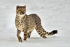 Cheetah in de sneeuw. Wel erg bijzonder! (Foto: conwest_john)