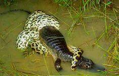 Cobra Jibóia caçando Jacaré - Patanal