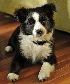 Scout the Border Collie Mix -- Puppy Breed: Australian Shepherd / Border Collie