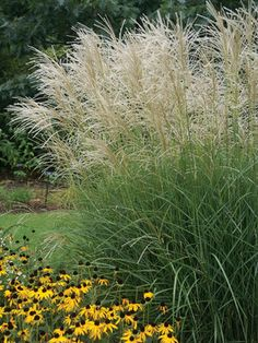"Miscanthus s. 'Graziella'  Maiden Grass.  White plumes, Noted for early bloom time and copper red foliage in fall.  Winter interest, deer resistant, salt-tolerant.  Tall, 4-5', 6' in flower (plant 30"" apart) in full sun.  Z 5-9"