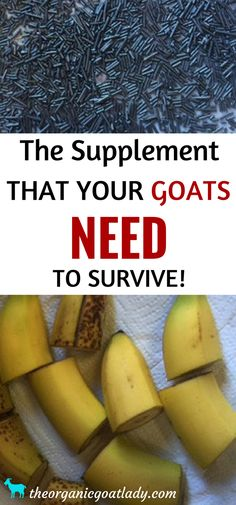 Do your goats receive regular copper supplementation? Find out why it's so important and how to properly give copper bolus for goats! Pigmy Goats, Boer Goats, Keeping Goats, Raising Goats, Goat Toys, Goat Shelter, Goat Pen, Goat Care, Nigerian Dwarf Goats