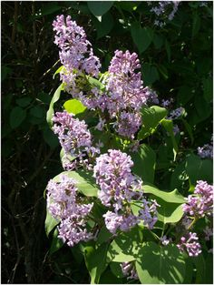Lilac Flower Essence: Rest, Relax, and Slow down.  It relaxes the body and mind of stress and worry.