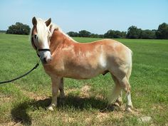 Hallo! I am Cowboy! I am a Haflinger. I am short, but powerful. I came from Equest - a therapy center in DFW. My only rider there was Miss Jan. She bought me and brought me here where she rides me twice a week.  I really love the little people and since I am little it helps assuage some of their fears. A lot of first time riders start with me and then move up to the bigger horses.  I am 13 hands tall and 10 years old.