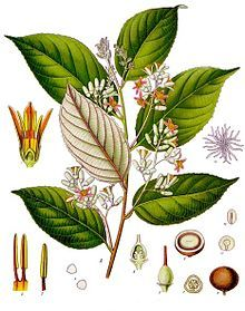 Information on the Medicinal Herb Styrax (Styrax benzoin) and Its Side Effects, Health Benefits and Traditional Uses in Herbal Medicine Botanical Drawings, Botanical Illustration, Botanical Prints, Herbal Plants, Medicinal Plants, Natural Herbs, Natural Healing, Natural Medicine, Herbal Medicine